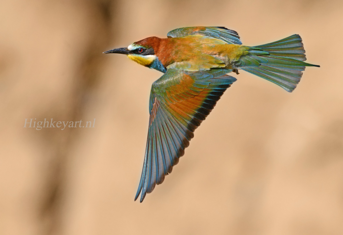 bee-eater flight beautifull